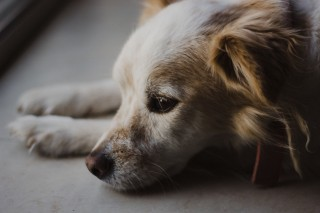 Is My Pet Too Old for Anesthesia?